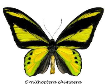Goliath Birdwing (Ornithoptera goliath)