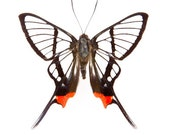 Chorinea sylphina, Real Butterfly, Ready for your project