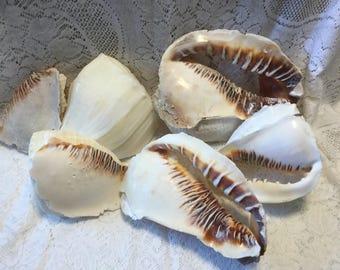 Helmet Conch and Whelk Pieces for Aquariums Terrariums FL Seashells Florida Shells