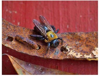 Bumble Bee - Art Print - nature art  print