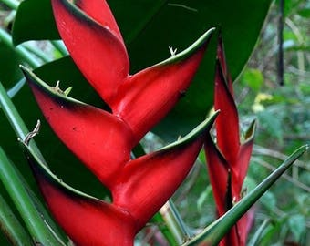 Heliconia Bihai  Red lobster claw   large to jumbo rhizome