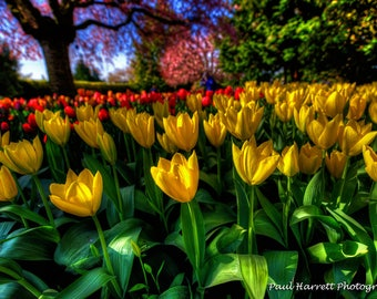 Photo Art - Flower Photography - Fine Art Photography - Tulips - Flowers - Tulip Festival -  RoozenGaarde - 16 X 24 -  Prints