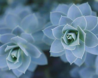 Blue Succulent Photograph, Succulent Photography, Fine Art Photography, Nature Photography, Succulent Wall Decor, Succulent Photo