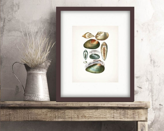 Coastal Decor Antique Sea Shell Giclee Art Print - Plate XXII  8x10
