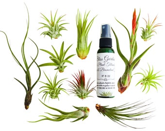 Sale!! 12pc Air Plant Tillandsia Lot / 11 Plants & 1 Air Plant Fertilizer Spray / Wholesale / Bulk AirPlants