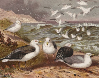 1890 Antique print of a SEABIRDS. SEAGULLS. GULLS. Mew. Ornithology. Natural History. 127 years old lithograph