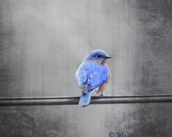 Bluebird, Eastern Bluebird, Bird Photography, Nature Photography, Wildlife Photography,Bird lover, Wall Art, Home Decor, Bird Gift