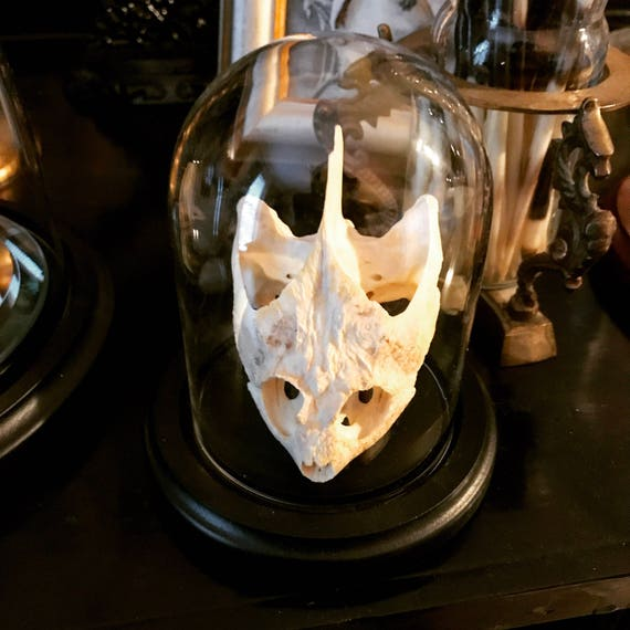 Snapper Turtle Skull in Glass Dome