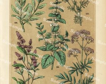 Gorgeous Flower Print original colored Lithograph print botanical natural history decorative art home decor Flora