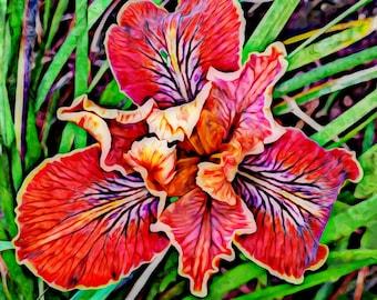 Burgundy Iris