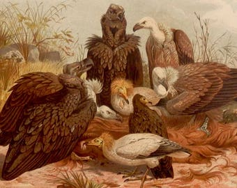 """Antique print.1884.Birds:SUD EUROPEAN VULTURE.Birds of Prey.Chromolithograph.Natural history. 133 years old print.9.8x6.6"""" or 25X17cm."""