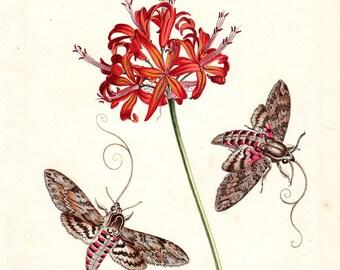 1749 Antique Botanical Print Benjamin Wilkes English Moths Butterflies Botanical Guernsey Lily Hawk moth