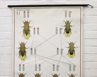 "Mid Century German Anatomical Chart ""Bees"""