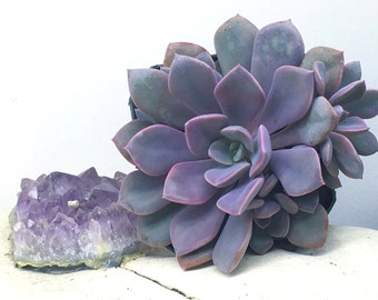 "Live 4"" Graptoveria ""Debbie"" Succulent Houseplant Mother's Day Gift"