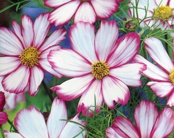 "100 *HEIRLOOM* Cosmos ""Candystripe"" Seeds"