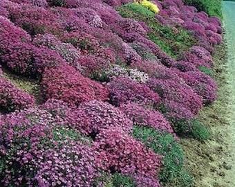 Rockcress-Cascade Mix-(Aubrieta)- 100 Seeds