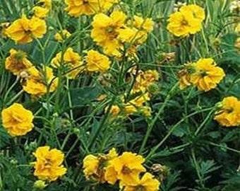 Geum- Chiloense- Lady Stratheden- 50 Seeds
