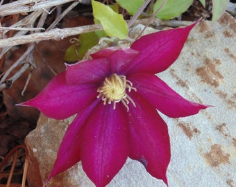 Clematis Viticella  Digital Download