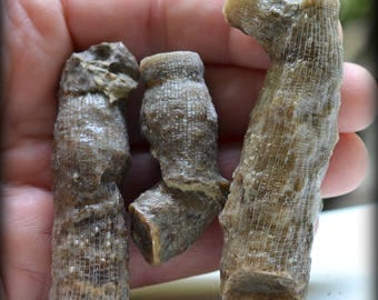Set of Three Large Caninia Torquia (Horn Coral) Fossils, from Bartlesville, Oklahoma, USA