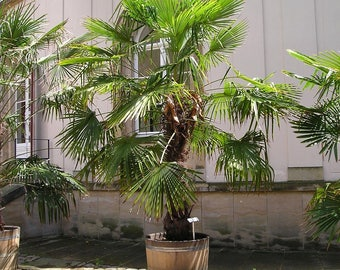 Windmill palm - Tropical seeds - Trachycarpus Fortunei