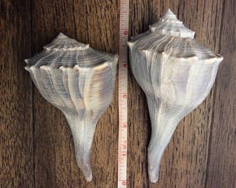 Natural Whelk Sea Shells (Set of 2)