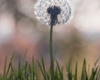 Dandelion photography, large dandelion print, dandelion wall art, grass, macro, floral fine art print, nature photo wall decor, home decor