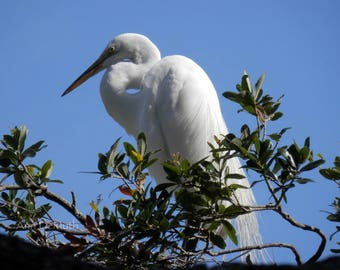 Bird Photography, Great Egret 124, St. Augustine, FL,  Rookery, FL Birds, Fine Art Print, Home Decor, 5x7, 8x10, 11x14