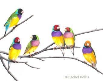 "8x12"" Goudlian Finches - Australian Birds - Finch - Wildlife - Nursery Art Print"