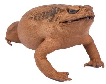 Large Lucky Cane Toad (1019-30L-NA)
