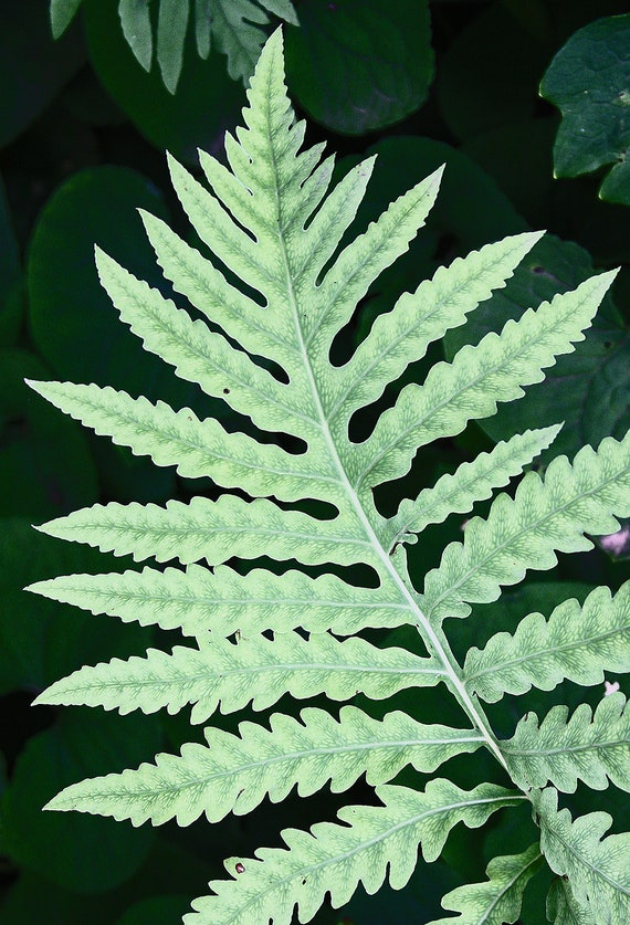 "Metal Art Print ""Celadon"", Fern Photography Printed on a Brushed Aluminum Box, 16x24x1, Special Order Only"