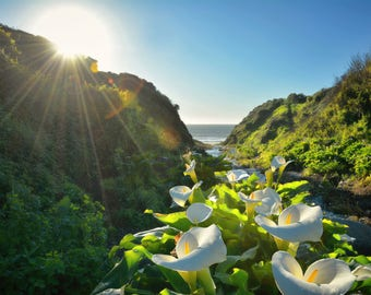 Calla Lily Canyon - PRINT.Nature photography.Calla lillies.Sunburst.Landscape art.Floral print.Country home decor.Flower art.