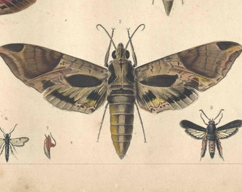 1862 Antique INSECTS MOTHS ENTOMOLOGY Print Hand Colored Engraving Original Book Plate