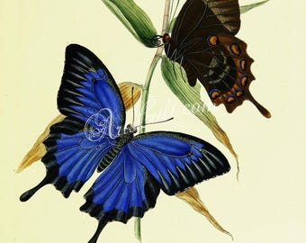 butterflies-11125 - Papilio ulysses, the Ulysses butterfly blue swallowtail Australia vintage printable picture two bright image jpg sketch