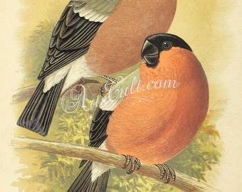 birds-01430 - Bullfinch, two bullfinches on tree branch vintage illustration British Cage bird book page paper collage clipart graphics jpeg