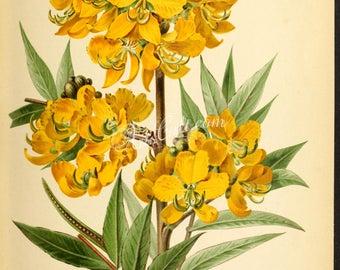 flowers-28479 - cassia occidentalis, Senna occidentalis, septicweed, coffee senna, coffeeweed, stinkingweed styptic weed digital picture jpg