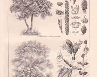 Antique Tree Lithograph from 1890 - Tree, Trees, Tree Prints, Tree Lithographs, Antique Tree Print, Antique Tree Lithograph, Botany, Flowers