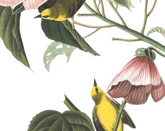 Warbler Bird Print - Blue Wing Warbler bird art - Sparrow illustration - James Audubon print