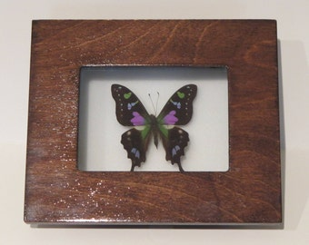 Shadow Box with A Graphium Weiskei Butterfly