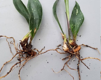 RARE and LIMITED!!! Aspidistra 'Milky Way' Starts (2)