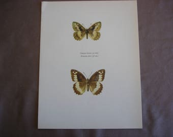 Butterfly Art Print: Chazara briseis and The Giant Tree-Brown