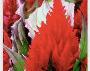Fiery RED FLOWER POSTER