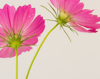 """Flower photography, Flower still life, Cosmos photograph, Pink Floral Print, Botanical print, Floral wall art, """"Cosmos"""""""