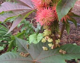 15 Castor Seeds