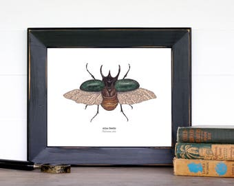 Beetle Illustration Print - 8 x 10 Atlas Beetle - Coleoptera, Montessori, Educational, Natural History, Insects, Nature Study, Entomology
