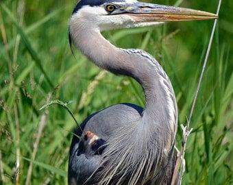 Great Blue Heron Photo - Heron Close-up Photo - Wildlife Decor - Blue Heron Photos - Bird Photography