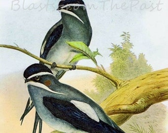 """Two Little LOVE BIRDS, Vintage BIRD Lithograph print with 8""""x10"""" mat, Ready to Frame, Orinthology, Natural History, Gorgeous, Office Decor"""