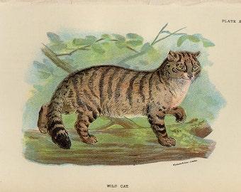 Vintage WILD CAT Print 1890, antique lithograph