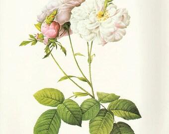Cel's Damask Rose art print vintage antique wall art pink flower art print Victorian art print antique rose art rose print prints 86