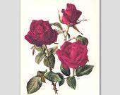 """Rose Red Botanical Print, Vintage Flower Artwork, Red Rose Illustration Art, 1960s """"Josephine"""" No. 24"""