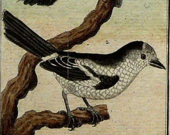 1780 Antique Buffon engraving of a CHILLIT BIRD from CAYENNE. Tropical birds. Exotic Birds. Songbirds. Ornithology. 237 years old rare print